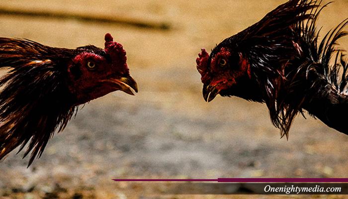 Pasar Gelap Menjual Ayam Aduan Bangkok