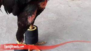 Cara Ampuh Besarkan Otot kaki Ayam SV388