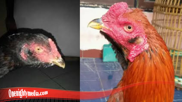 Rahasia Sesunggunya Ayam Bangkok Brewok S128
