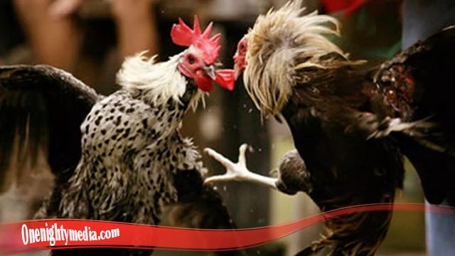 Cara Ampuh Tingkatkan Mental Ayam S128